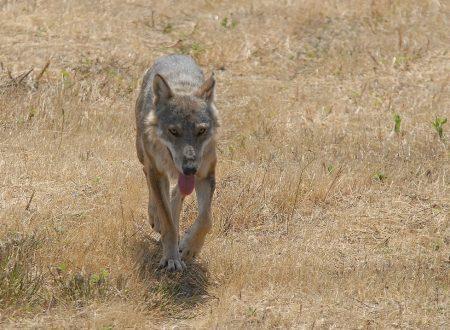 Il lupo e il suo significato simbolico ed esoterico