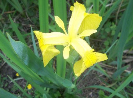 L' Iris d'Acqua nella Riserva Naturale Regionale del Lago di Serranella