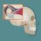"""""""Disturbi temporo - mandibolari: cause, sintomi e terapia"""" a cura del Dott. Anthony Carlino"""