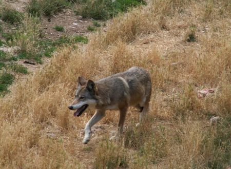 Il significato mitologico dei lupi avvistati alla periferia  di Chieti