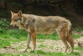 I lupi sono arrivati in città, perché?