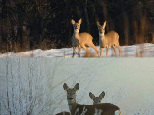 Sirente – Velino, in foto la lotta per la sopravvivenza degli animali in inverno