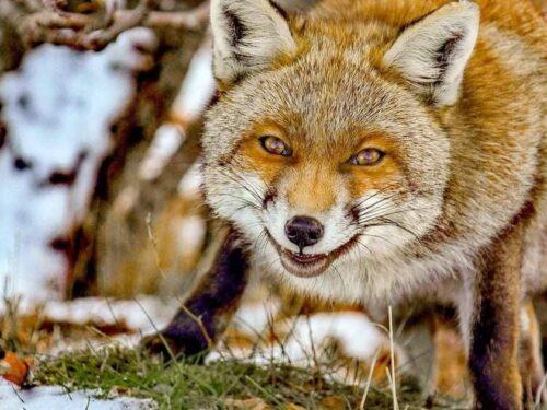La volpe: un predatore tutto da scoprire